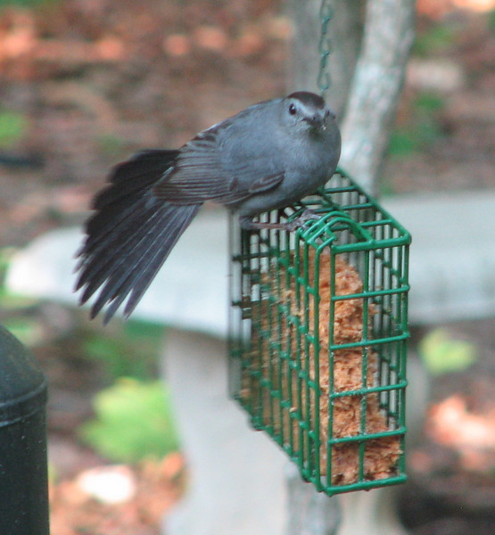 Gray Catbird on Suet