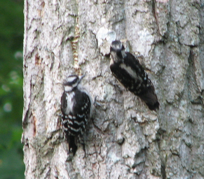 Baby Downy Woodpecker Watching Mom Dig For Bugs - June 11