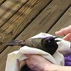 Common Grackles Are Not Popular Birds Since They Will Attack Other Species and Even Grackles - March 26