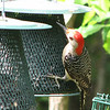 Female Red-bellied Woodpecker