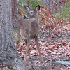 Young Deer In Front Yard