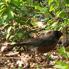 Robin In The Woods_2