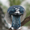 The Tail End of a Blue Jay on Icy Morning