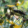 American Goldfinch on Green-headed Coneflowers_2