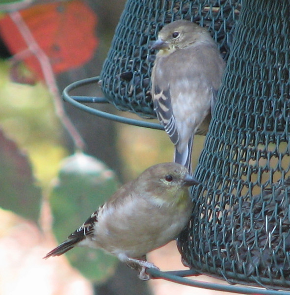 American Goldfinches In Fall Plumage