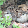 Wren Babies - Day After Fledging From Nest - May 4_4