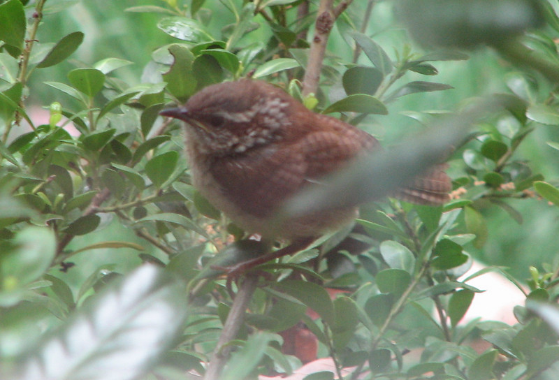 Baby Wren in First Flight Hiding Place   5-4-07