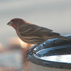 Male House Finch - January