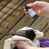 Common Grackle Rescue - Glad to Have Distress Remedy For Shock and Trauma - Works Well With Animals Too - March 26