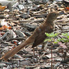 Molting Brown Thrasher_2