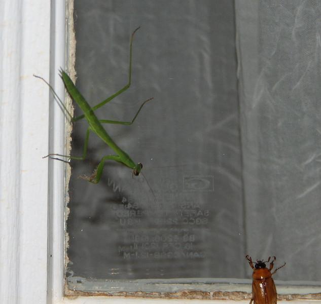 Teenage Size Praying Mantis About To Grab a Meal To Grow Bigger