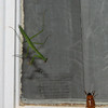 Teenage Size Praying Mantis About To Grab a Meal To Grow Bigger