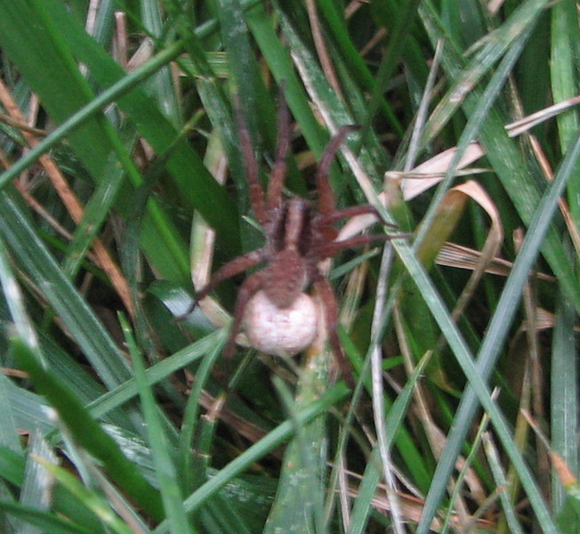 Small Wolf Spider With Egg Sac - In The Grass
