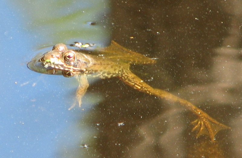 Green Frog in Pond - View of Webbed Feet
