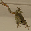 Eastern Gray Tree Frog Climbing Down House Wall