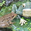 Unconditional Love - Green Frogs Love At First Sight