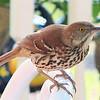 Brown Thrasher Bobbing For a Birdie
