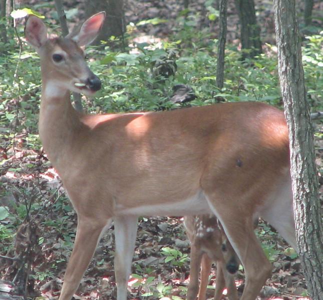 Peek-a-Boo Says The Baby Deer