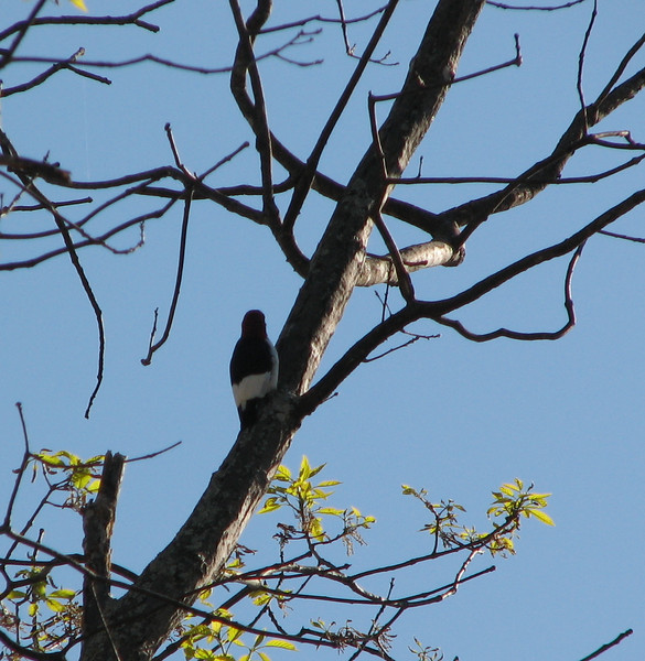 Red-headed Woodpecker on Tree
