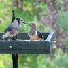 Juvenile Blue Jay and Red-headed Woodpecker_3
