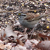 White-throated Sparrow_2