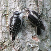 Blurry Scene of Mom Feeding Baby Downy Woodpecker