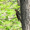 Female Norther Flicker on Tree