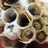Larvae of Paper Wasps - Can You See the Little Faces