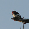 Red-headed Woodpecker on Branch of Dead Tree