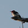 Red-headed Woodpecker on Branch of Dead Tree