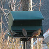 Winter Feeder Mix - Cardinal and House Finches