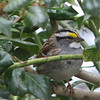 White-throated Sparrow at Kitchen Window