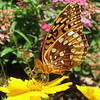 Great Spangled Fritillary Butterfly on Coreopsis_5