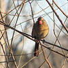 Female Cardinal in Willow Tree