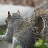 Squirrel Eating Holly Leaf