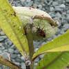 Milkweed Beetle on Milkweed Pod