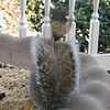 Our Squirrel With a Hairdo Tail