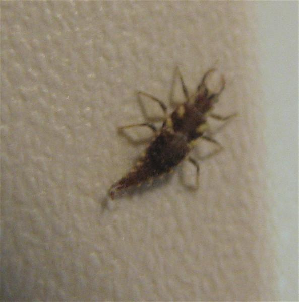 Green Lacewing Larva - Found on Refrigerator Door