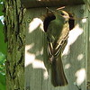 Great-crested Flycatcher - May 21 - Building Nest_11