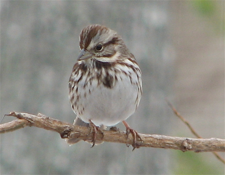Song Sparrow on Chilly Winter Morning