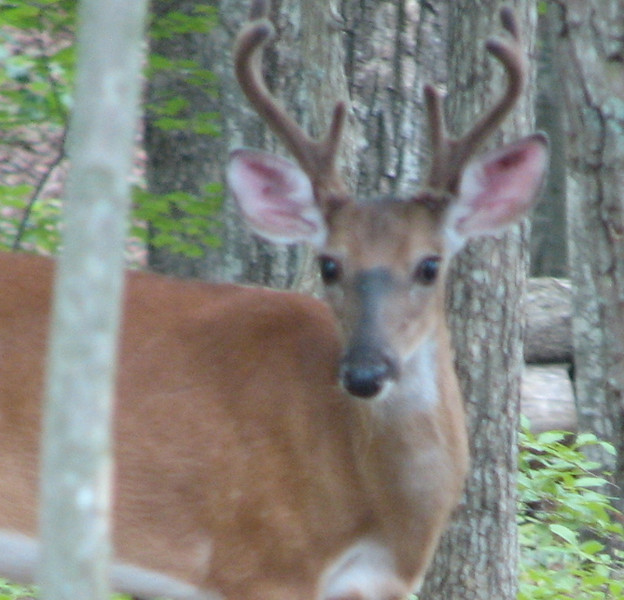 Young Buck Deer In Backyard - July 13