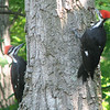 Juvenile Pileated Woodpeckers - May 22