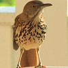 Brown Thrasher - Entertained With His Reflection in the Dining Room Window on the Front Porch_7