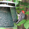 Male Red-bellied Woodpecker on Rear Feeders