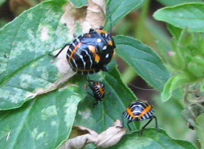 Nymphs of Harlequin Bugs