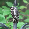 Baby Downy Woodpecker - No Bugs in This Tree, Mom