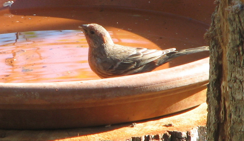 Thirsty Female House Finch