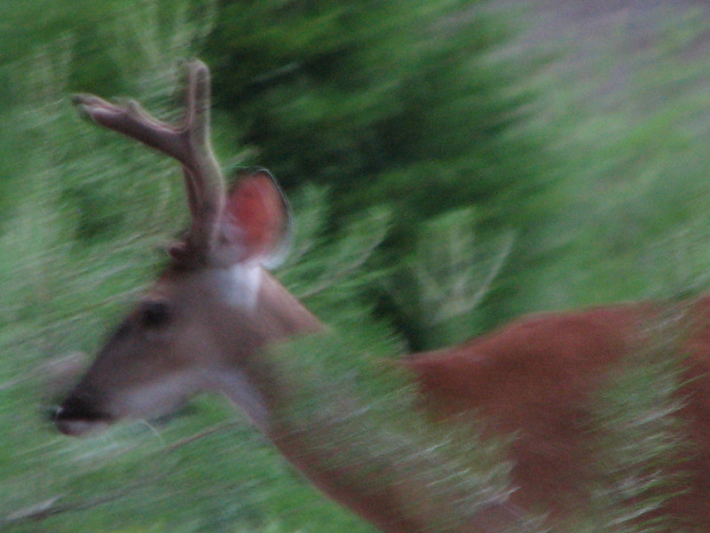 Young Male Deer in Motion in Our Yard