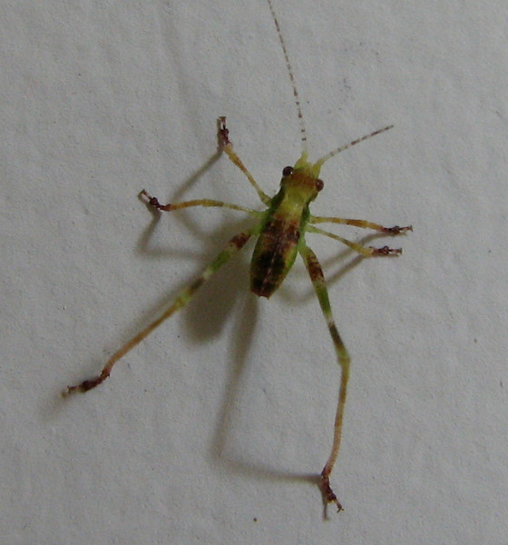 Grasshopper Nymph_2