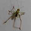 Grasshopper Nymph_2